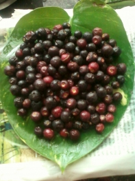 Falsa ... Fruit