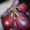 Anggur Merah ( Red grapes )